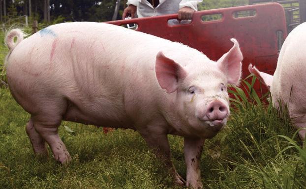 幻の豚・中ヨークシャーの特徴